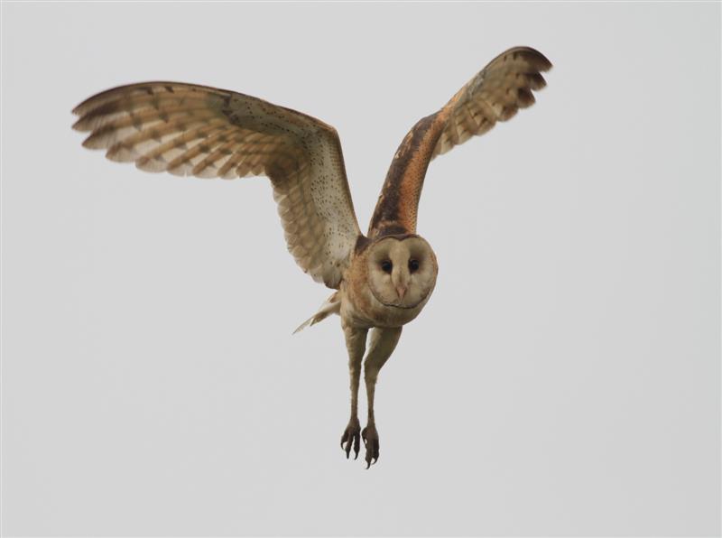 Vietnam Bird News: Photos of Grass Owl