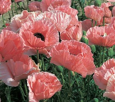Vẻ đẹp của hoa thuốc phiện (hoa anh túc)
