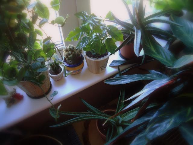 domowa dżungla,kwiaty doniczkowe na parapecie