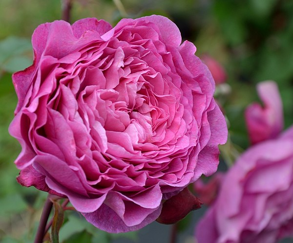 Ventilo сорт розы фото