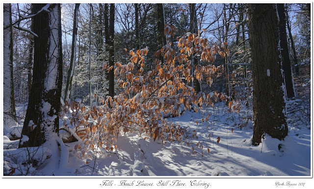 Fells: Beech Leaves. Still There. Coloring.