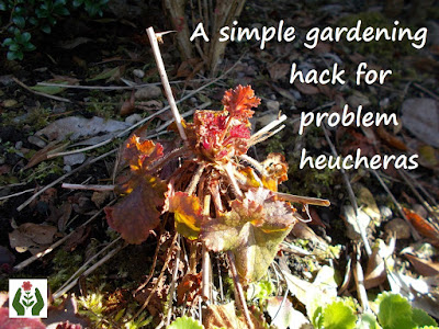 Heuchera problems Green Fingered Blog