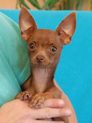 Marinetta A Chocolate Chihuahua Puppy For Adoption