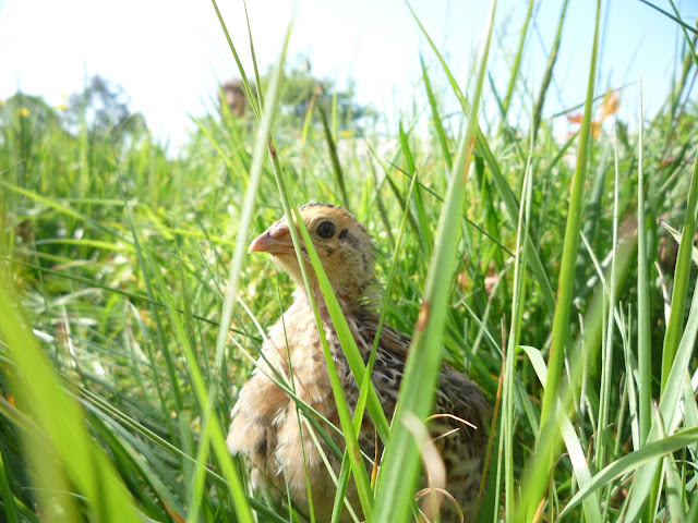 Pharaoh Coturnix Juvenile Male Free-ranging
