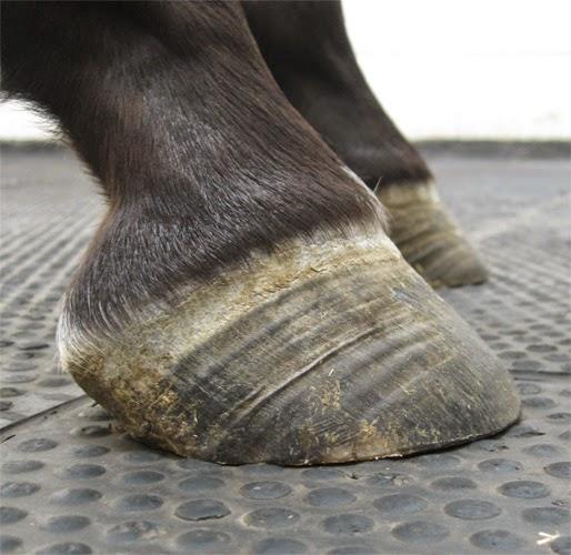 Horse Life And Love Laminitis