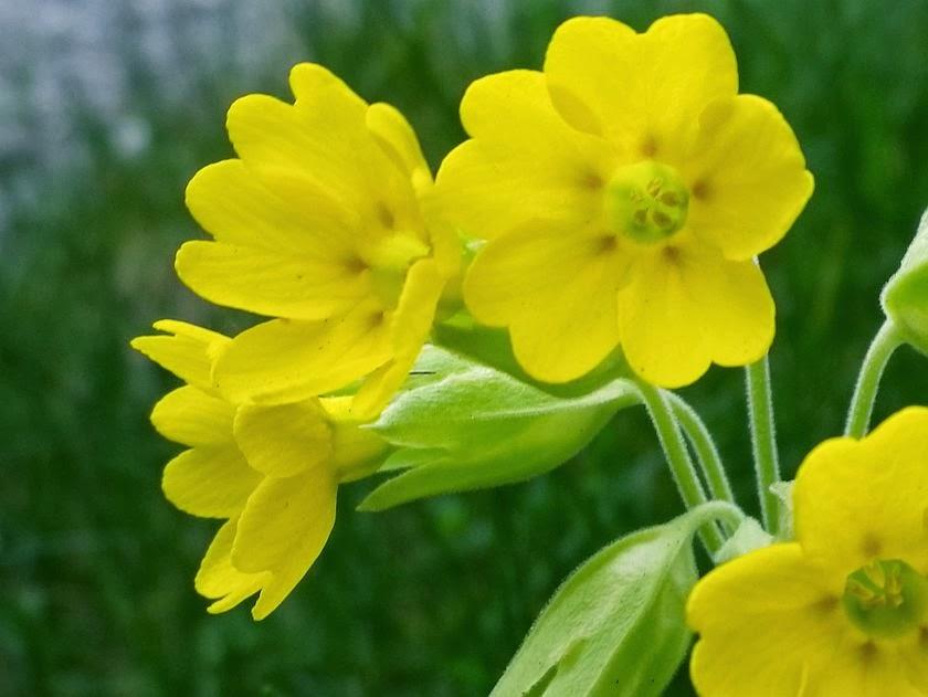 Yellow flowers of wild polyanthus