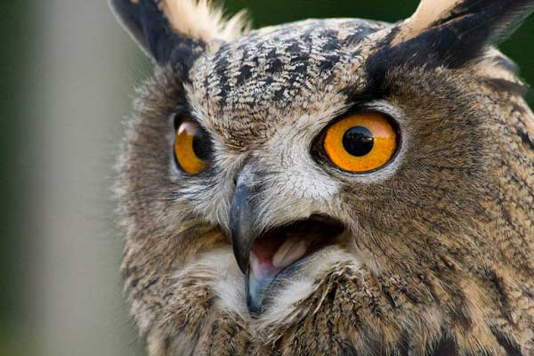 Aninimal Book: Nothing To Do With Arbroath: Man attacked by eagle owl ...