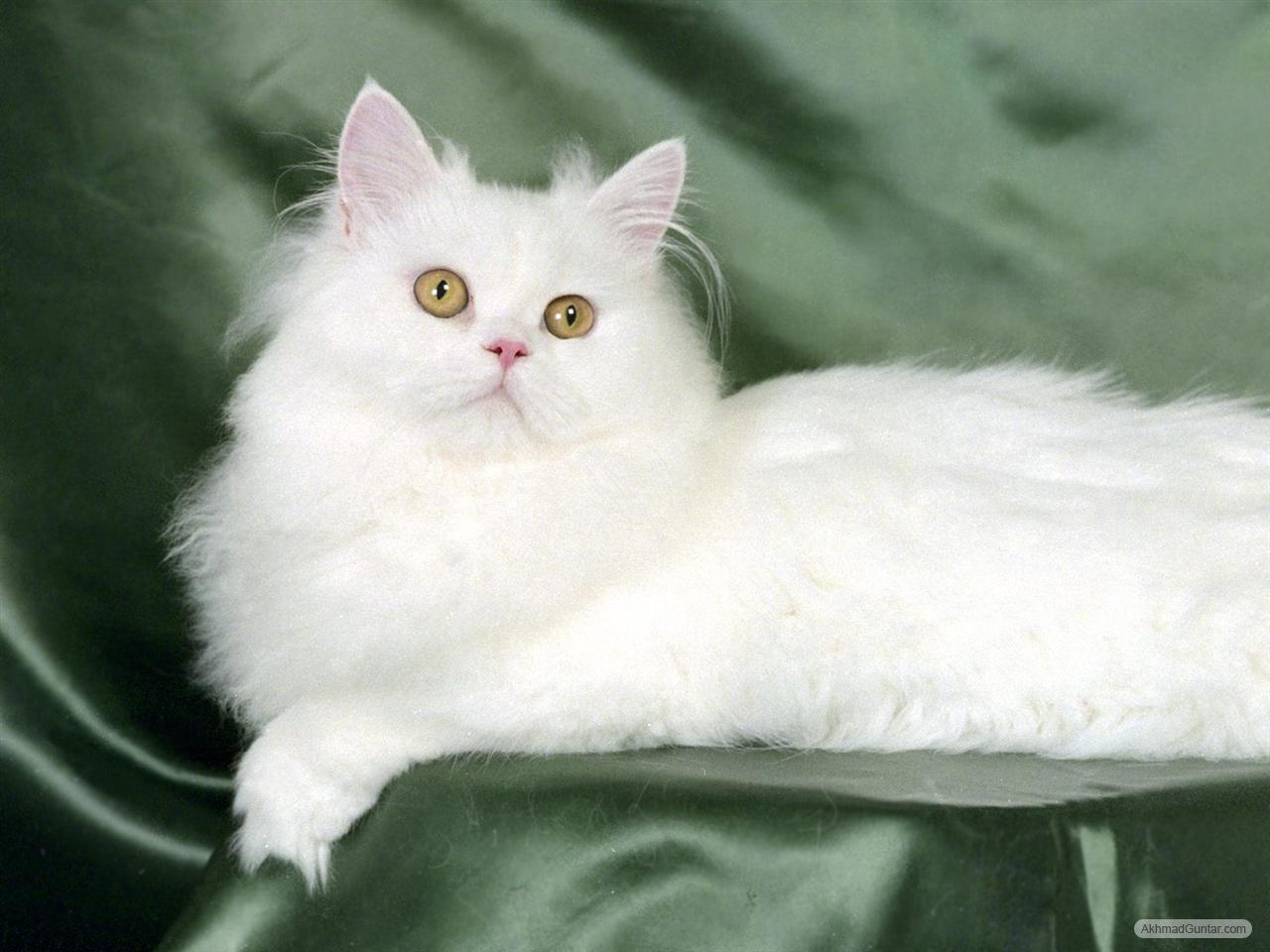 Perawatan Kucing Kucing Putih Imut Bersih Sempurna