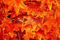 Partituras de Autumn Leaves de Saxofón Alto, Flauta, Violín, Saxofón Tenor, Clarinete, Trompeta y Clarinete. Pincha aquí o en la foto.