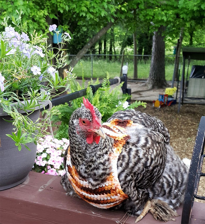 These Fashionable Chickens Are Ready For Fall With Their Stylish Knitted Outfits