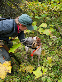 Brittany retrieving a ruffed grouse