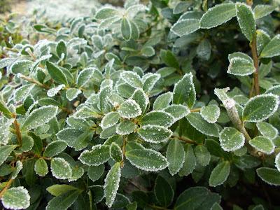 Ilex crenata Love your garden in winter Evergreens Green Fingered Blog