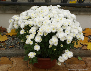 http://fotobabij.blogspot.com/2015/04/chryzantema-axima-white-dendranthema.html