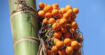 artikel kesehatan, buah, buah pinang, kesehatan, khasian buah pinang, manfaat buah, manfaat buah pinang, nutrisi, nutrisi buah pinang,