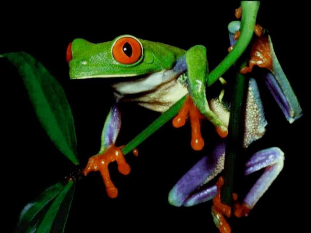 Beautiful Frog Wallpaper Download For Free Goats Animal: Beautiful Desktop Wallpapers 2014
