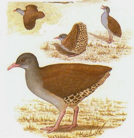 birds argentinian Tinamus