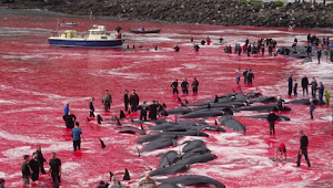 SERIOUS? White Sea Turned RED As They Villagers Butchered 180 Whales On Faroe Islands [Photos]