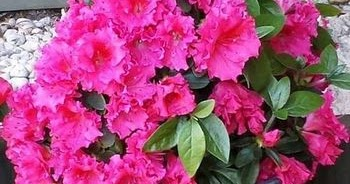 How to grow and care for azaleas - Care azaleas keep years ...