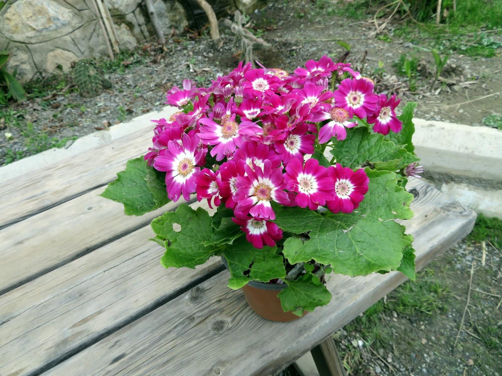 Kanarya Gülü Çiçeği Bakımı Ve Özellikleri