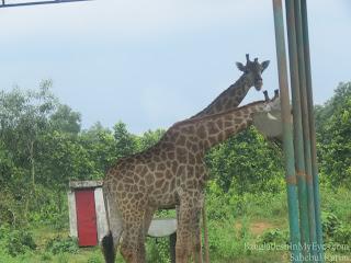 Giraffe in Core Safari Park