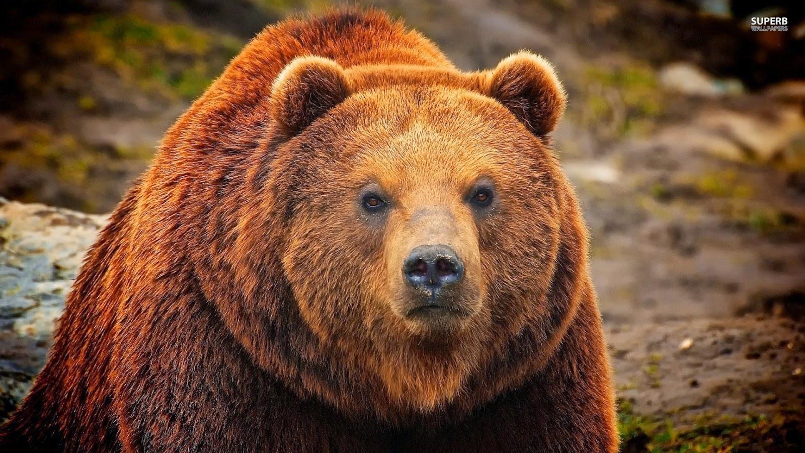 Animali Di Potere: Orso Bruno, Animale Di Potere E Totem