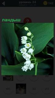В лесу растет ландыш белыми колокольчиками в больших зеленых листьях
