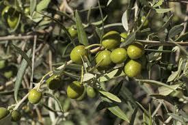hierbas de olivo para la tension