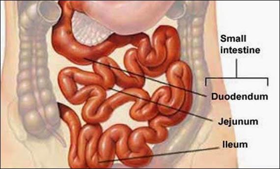 kita makan untuk mendapatkan energi agar dapat melakukan aktivitas normal 6 Organ Pencernaan Manusia, Gambar, Fungsi, dan Bagian-bagiannya