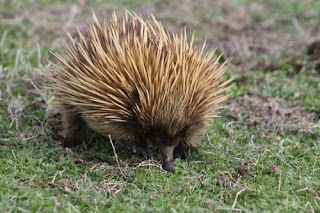 Echidna At Work.