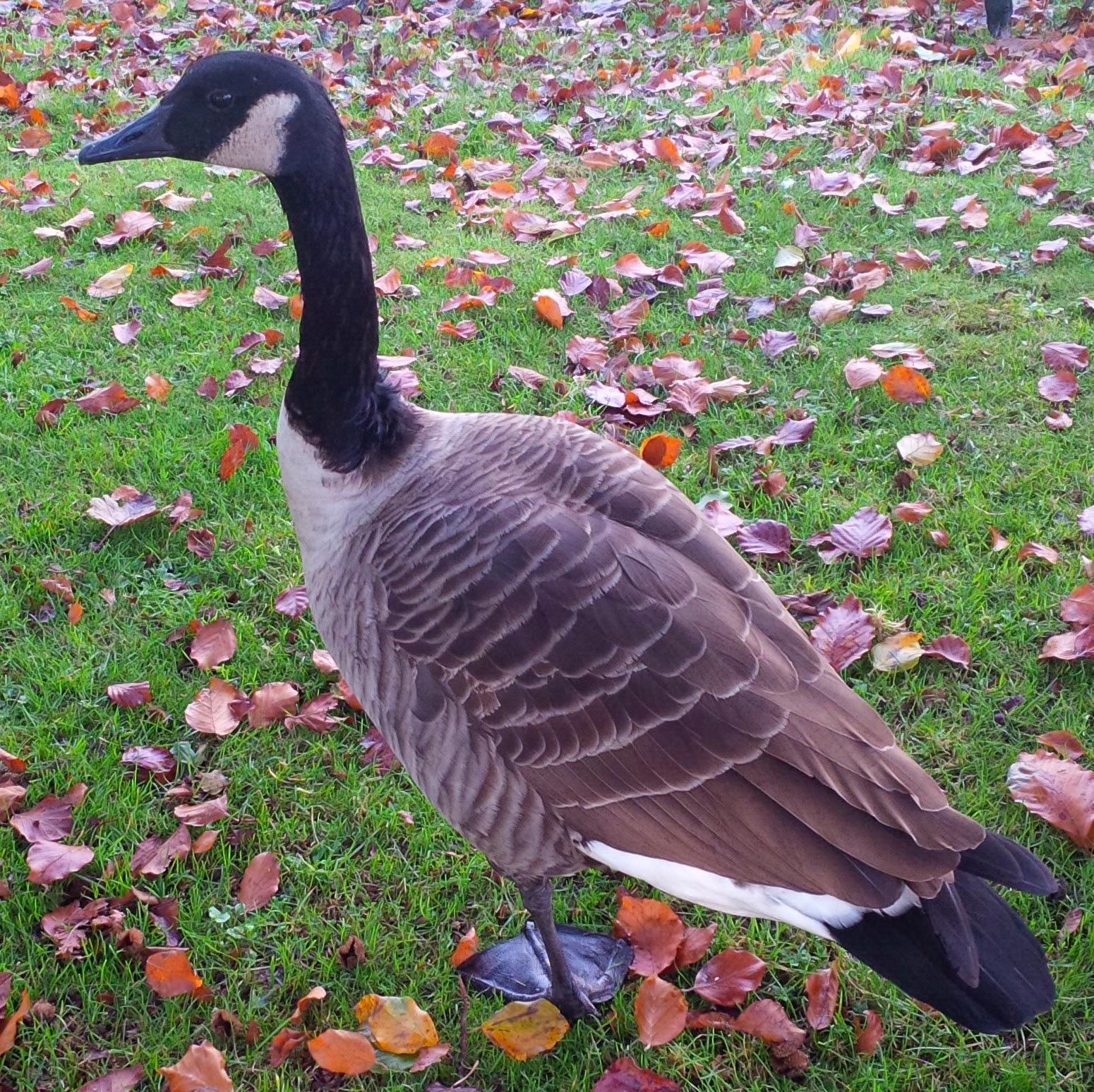 A huge goose at Leeds Castle