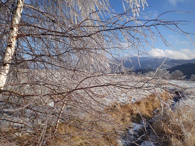 U podnóża Ćwilina, wilczyckie drzewo