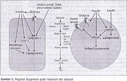 Absorpsi Distribusi Metabolisme Mekanisme Toksisitas Benzena dalam Tubuh