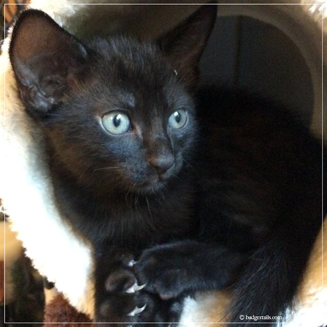 Black-Kitten-with-Blue-Eyes