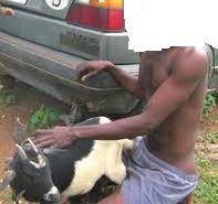Man having sex with sheep pics