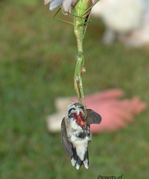 bird eaten by a praying mantis