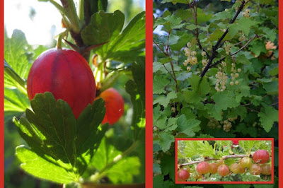 Krusbär Ribes uva-crispa 'Hinnonmäki Röd'