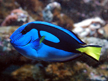 Blue tang fish fun animals wiki videos pictures stories for What kind of fish is nemo