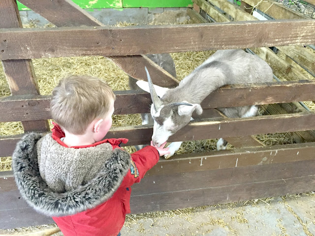 boy feeding a goat at whitehouse farm Northumberland