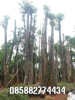 alt=jual-pohon-pelindung-murah