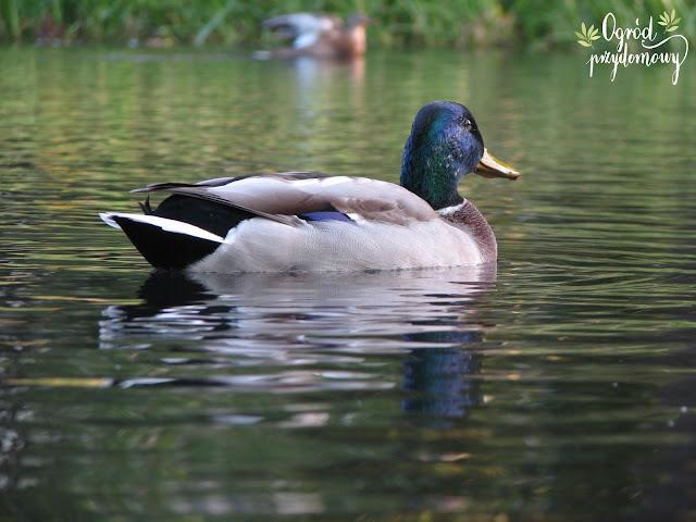 karmienie kaczek, ogród przydomowy, karmienie ptaków, dokarmianie ptaków