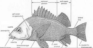 klasifikasi ikan kakap putih