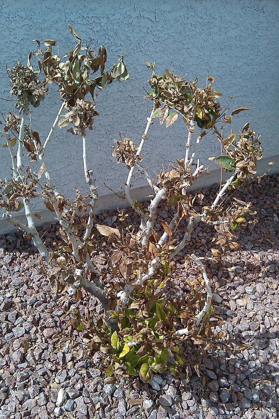 Xtremehorticulture Of The Desert Roses Can Be A Good