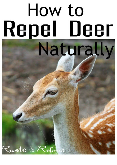 How to repel or deter Deer from your garden and flower beds.