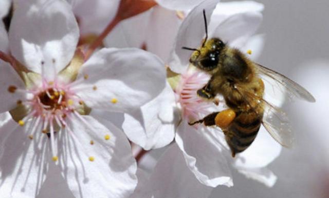 Η Αμυγδαλιά είναι το πιο σημαντικό μελισσοκομικό φυτό του Φεβρουαρίου