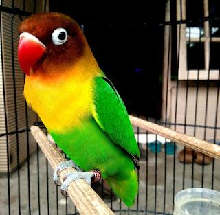 harga-burung-lovebird-dakocan-2019
