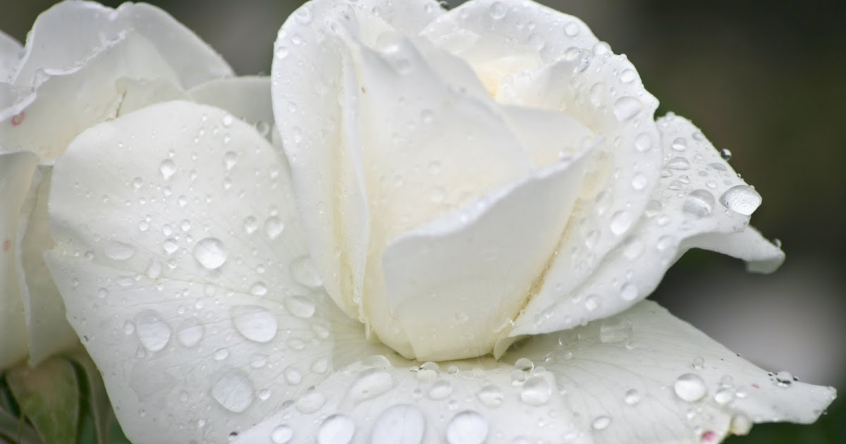 Goldenrod Flower Wallpaper Flower Photos: White Rose With Raindrops