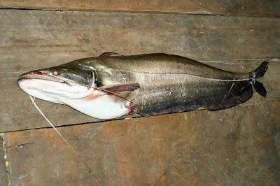 Habitat & Karakteristik Tapah Catfish