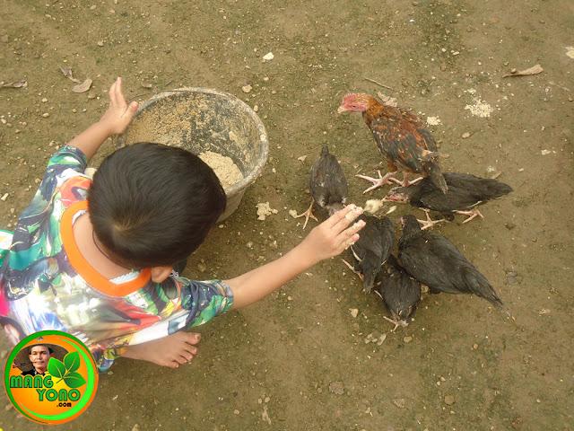 Gigin sedang ngasih makan ayam kampung piaraannya.