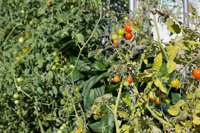 cherry tomatoes in the Tri-County garden (photo provided by Tri-County)
