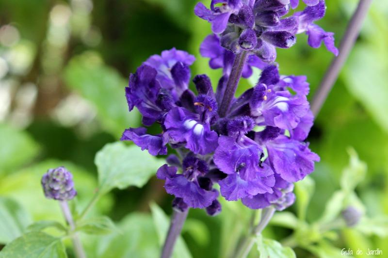 Salvia azul